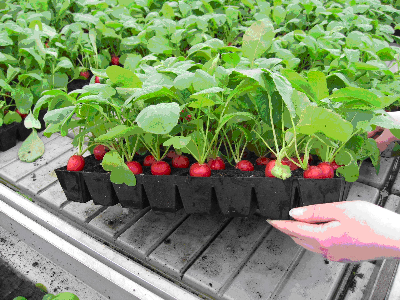 выращивание рассады как бизнес идея