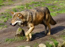 контакт во сне с волком