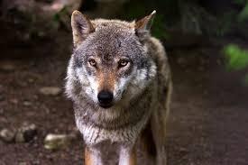 волк снится сонник к чему