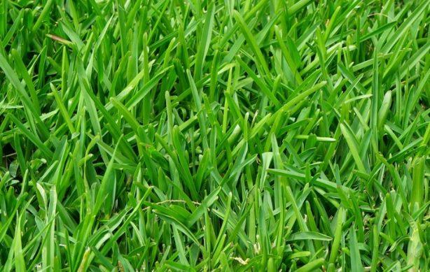правильно выбираем семена для газона