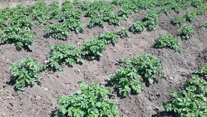 картофель в мае 2019 года как сажать правильно