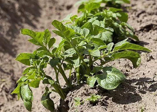 в какие дни мая лучше посадить картофель