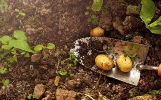 когда сажать картофель в 2019 году