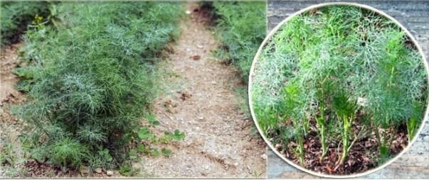 сажаем укроп в открытый грунт семенами в апреле как сделать