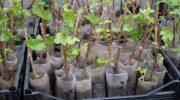 Как правильно посадить черенки винограда в феврале 2019 года?