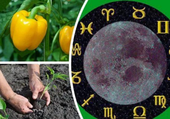 посадка перца по лунному календарю
