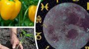 Календарь высадки перца в открытый грунт или в теплицу