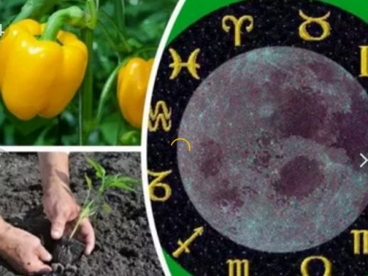 посадка перца в мае по лунному календарю