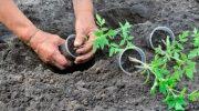 Календарь высадки рассады помидор в открытый грунт