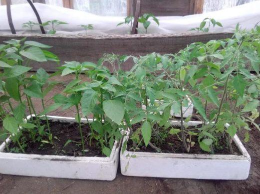 помидоры и баклажаны в 2019 году