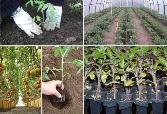 томаты в теплицу высадка 2019