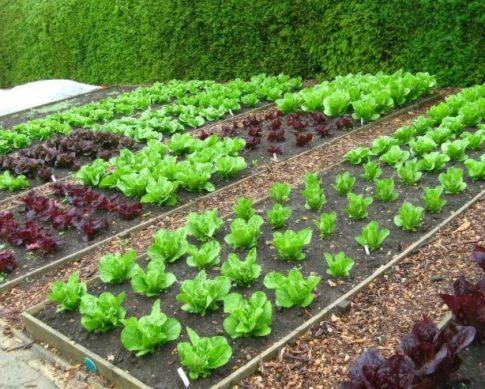 посадки офощей и фруктов на огороде дачи в июне