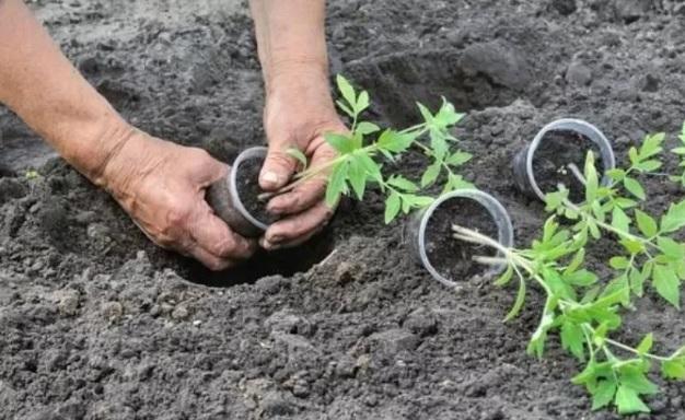 подготовка рассады к высадке омата в открытый грунт в июне