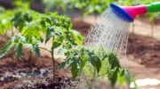 Высадка рассады томатов в открытый грунт в июне 2019