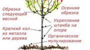 Выращивание гортензии на штамбе — инструкция