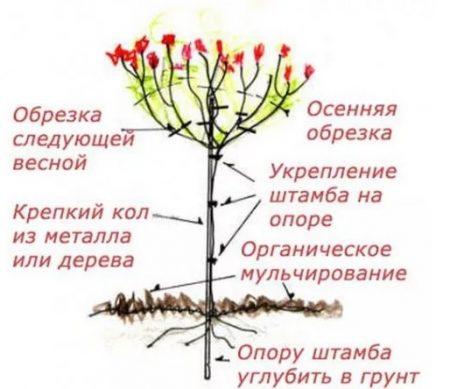 выращивание штамбовой гортензии