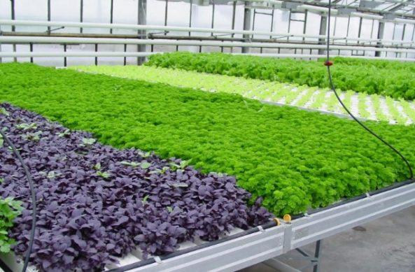 бизнес на гидропонике, какие растения выращивать для прибыли