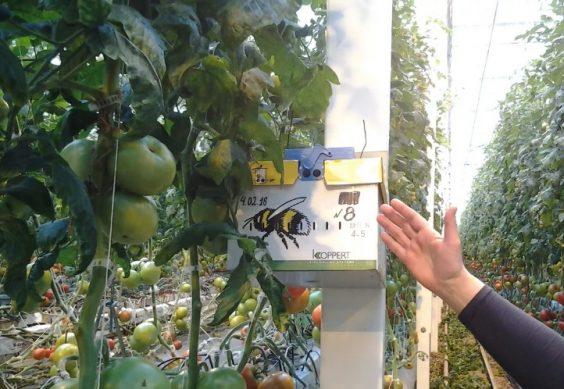 система автоматического опыление томатов