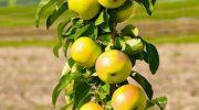 Колоновидная яблоня как выращивать и ухаживать