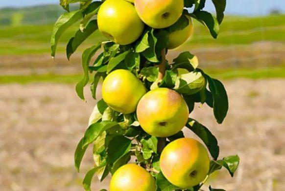 колоновидная яблоня урожай