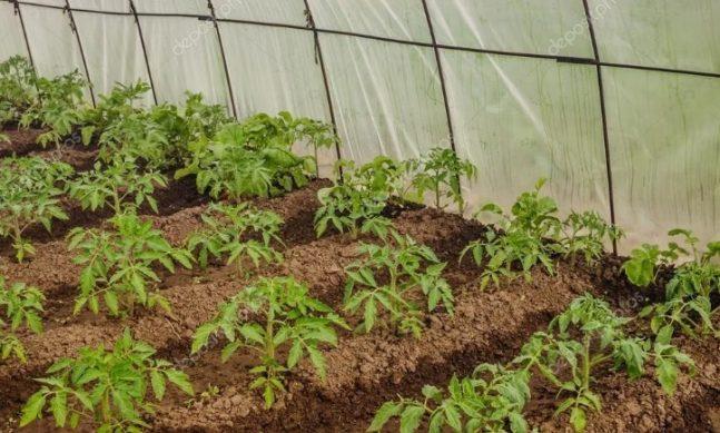 рассадка томатов в теплицу