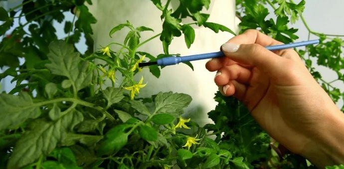 как опылять помидоры в еплицах