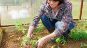 Когда высаживать рассаду томатов в теплицу в июне 2019