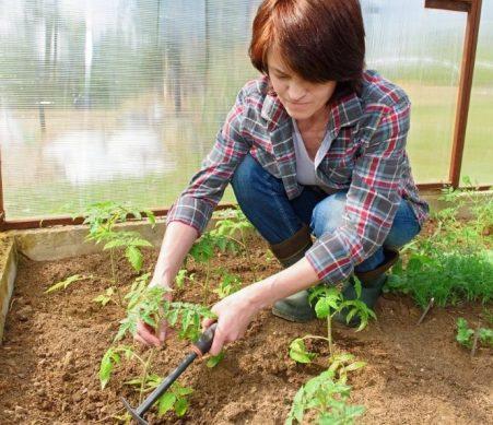 как правильно высаживать рассаду помидор в теплицу