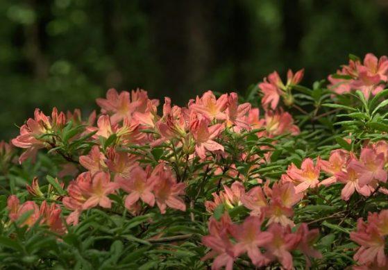 цветущие кусты рододендрона