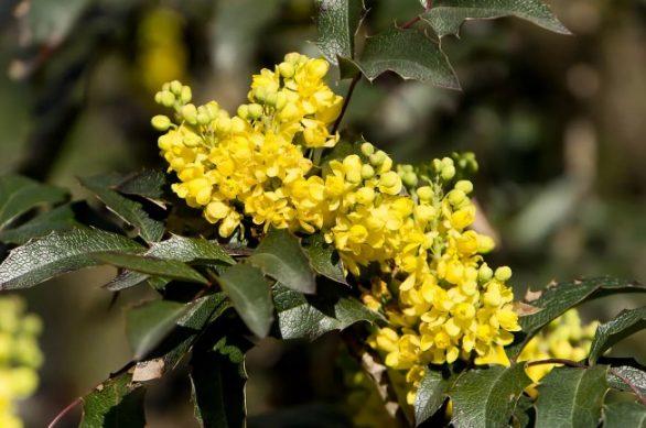 Магония падуболистная (Mahonia aquifolium)