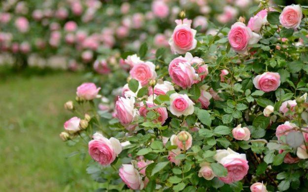 кусты садовой розы