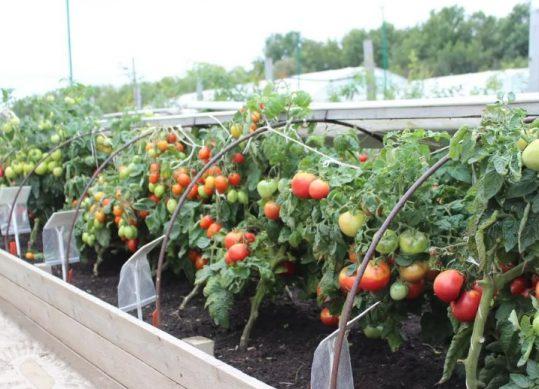 дождливое и холодное лето как выращивать помидоры