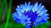 Какие лекарственные растения собирать в июне?