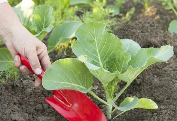 календарь высадки капусты