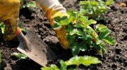 Сентябрьские заботы с ягодными кустарниками и клубникой
