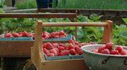 Как увеличить урожай садовой земляники?
