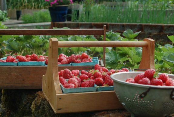 как увеличить урожай земляники
