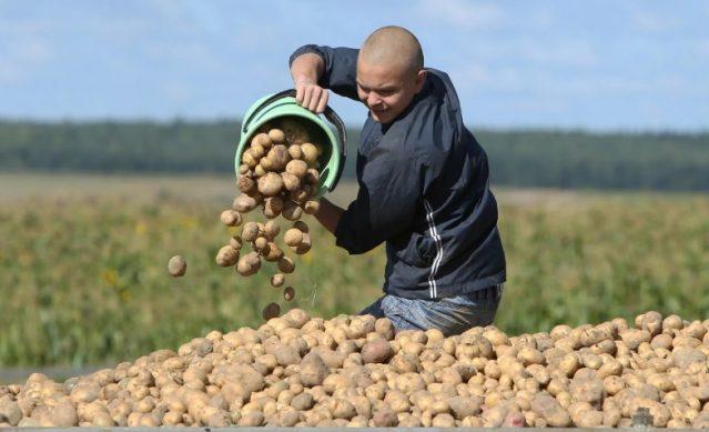 уборка картофеля осенью 2019 года