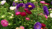 Какие цветы цветут осенью до заморозков?