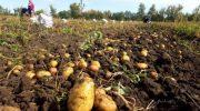 Копаем картошку в сентябре 2019 — когда правильно по лунному календарю?