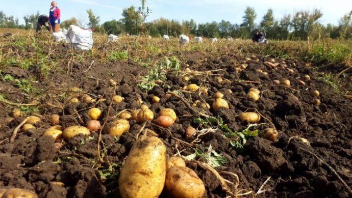 уборка картофеля 2019 осень