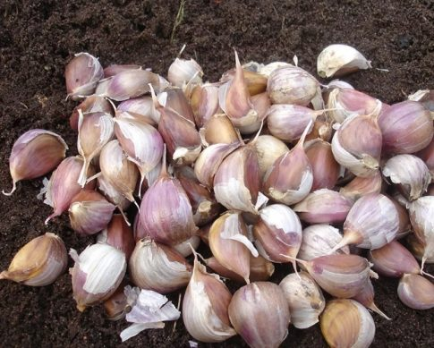 Когда лучше сажать лук севок и чеснок в сентябре 2019 года по лунному календарю