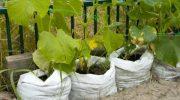 Как выращивать огурцы в теплицу — советы 2020 года — сажаем, подкармливаем