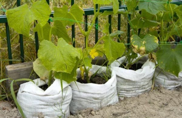 выращивание огурцов 2020