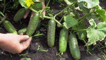 Как выращивать огурцы в открытом грунте — особенности 2020 года (климат)